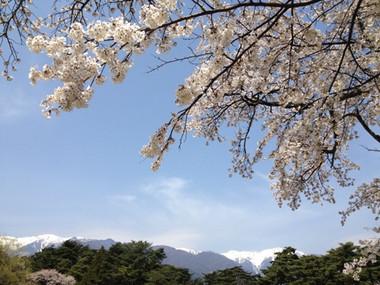 Sakura_130414